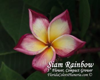 Siam Rainbow Plumeria