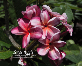 Texas Aggie Plumeria