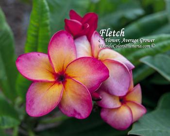 Fletch Plumeria