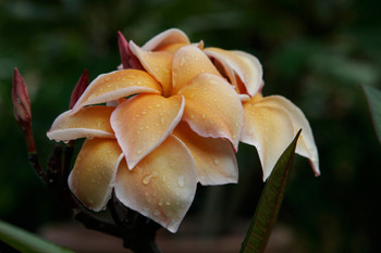 Heirloom Plumeria