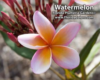 Watermelon Plumeria