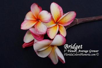 Bridget Plumeria