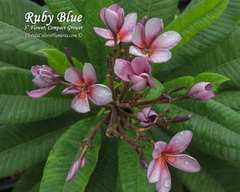 Ruby Blue Plumeria