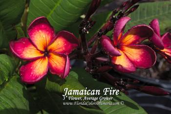 Jamaican Fire Plumeria