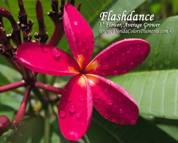 Flashdance Plumeria