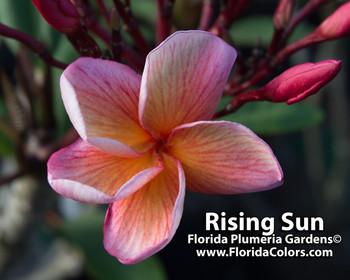 Rising Sun Plumeria
