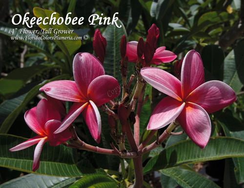 Okeechobee Pink Plumeria