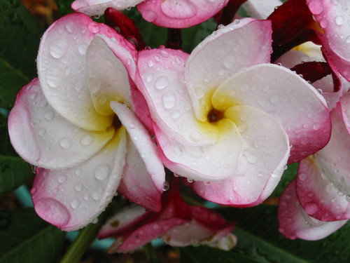 Pink Pansy Plumeria
