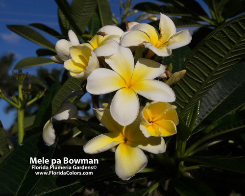 Mele Pa Bowman Plumeria