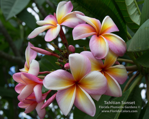 Tahitian Sunset Plumeria