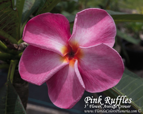 Pink Ruffles Plumeria