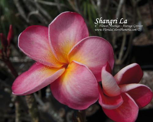Shangri La Plumeria