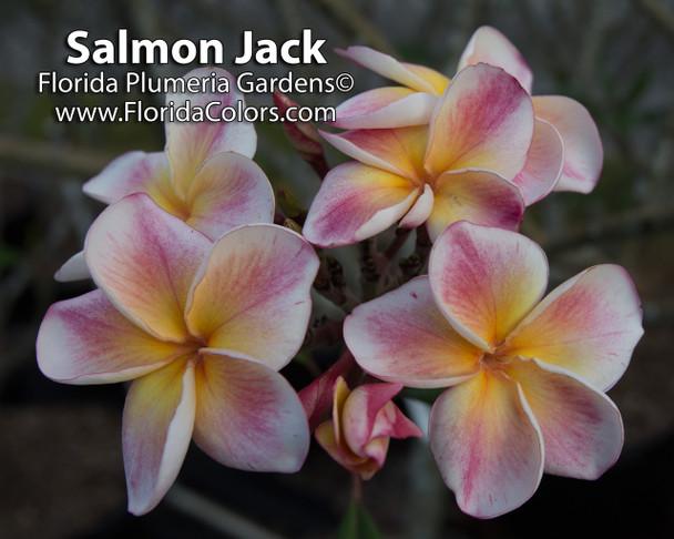 Salmon Jack aka JJ Carnival Plumeria