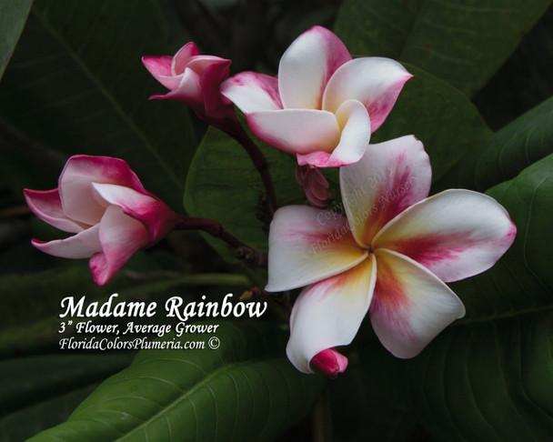Madame Rainbow Plumeria
