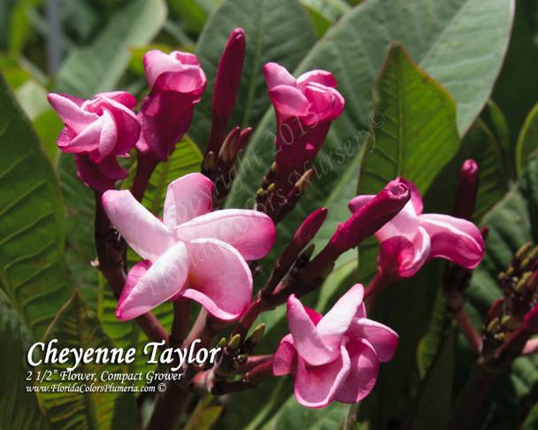 Cheyenne Taylor Plumeria