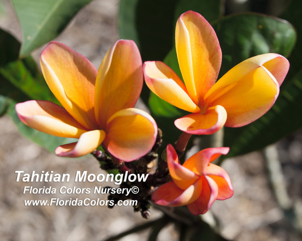 Tahitian Moonglow aka University of Hawaii Orange Plumeria