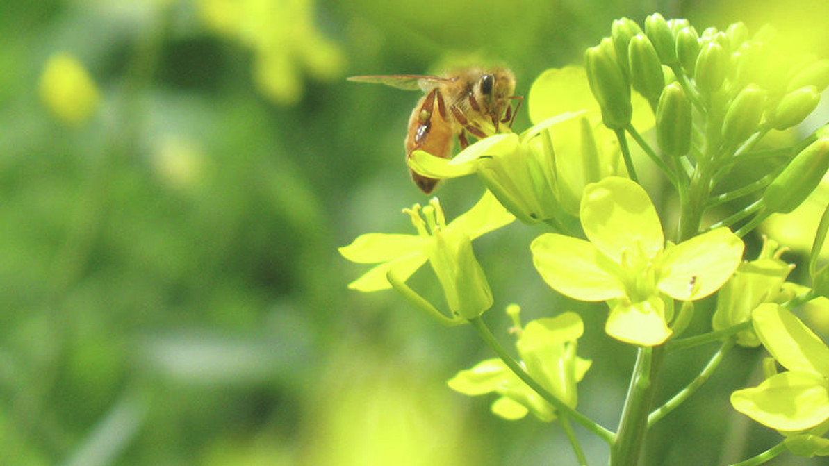 North Dakota offers money for honey bee research. Lots of it. Soon. Hurry.