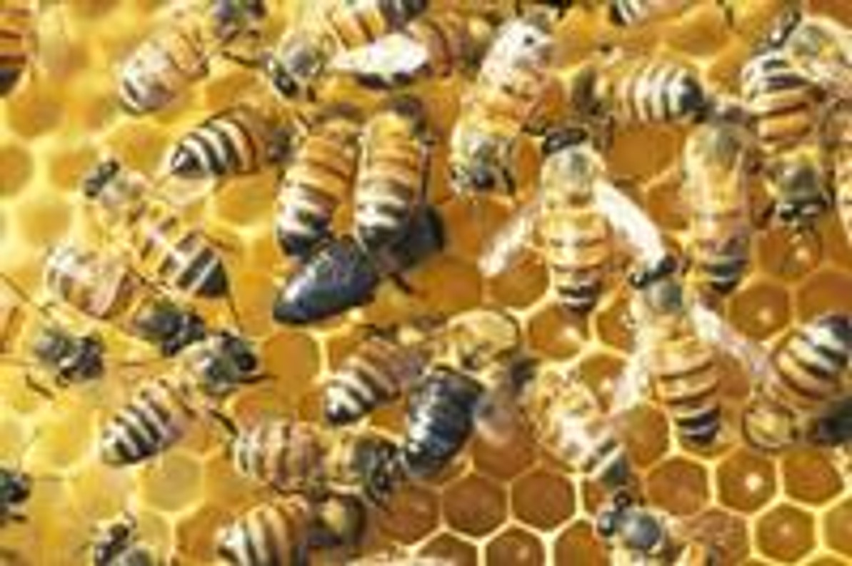 How Honey Bees do Without Males