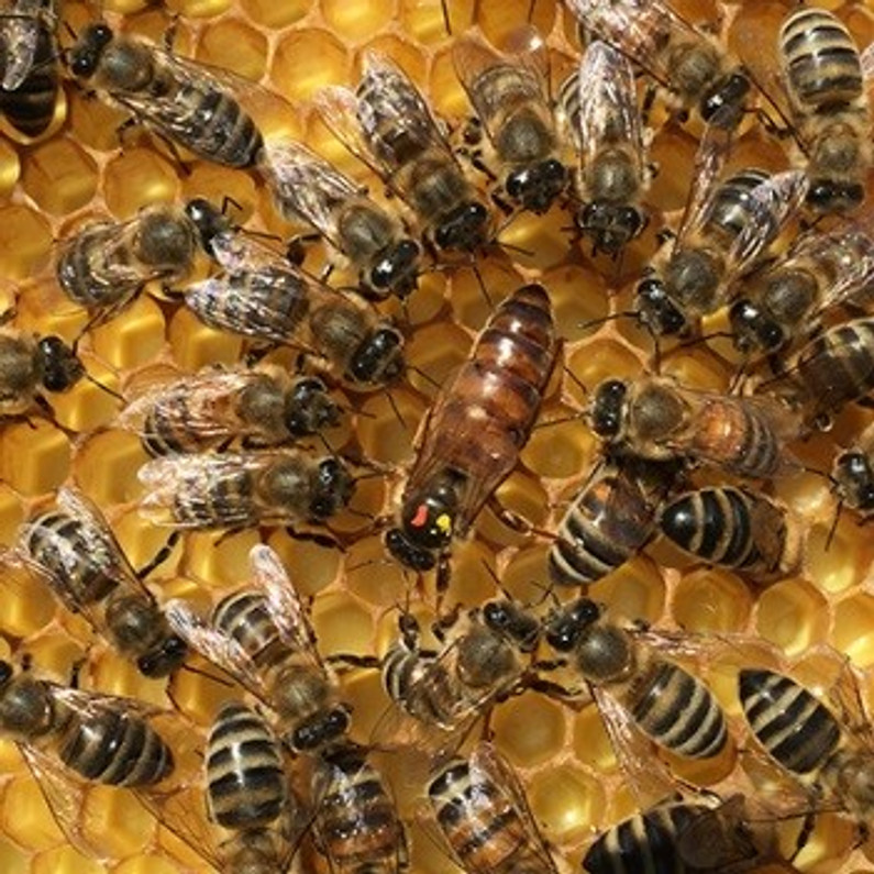 Mite-Resistant Russian Honey Bees Might Not Prevent Varroa Infestations