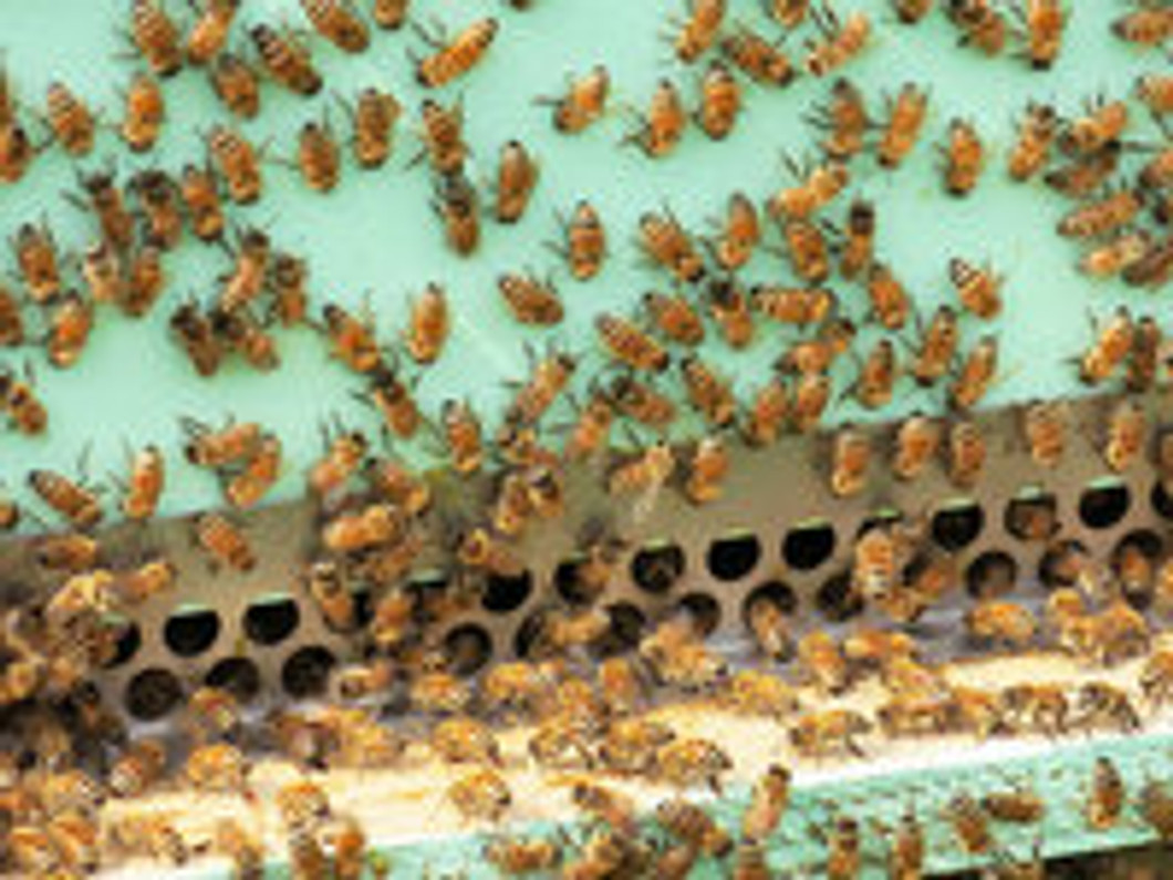 The Colony-Killing Mistake Backyard Beekeepers Are Making