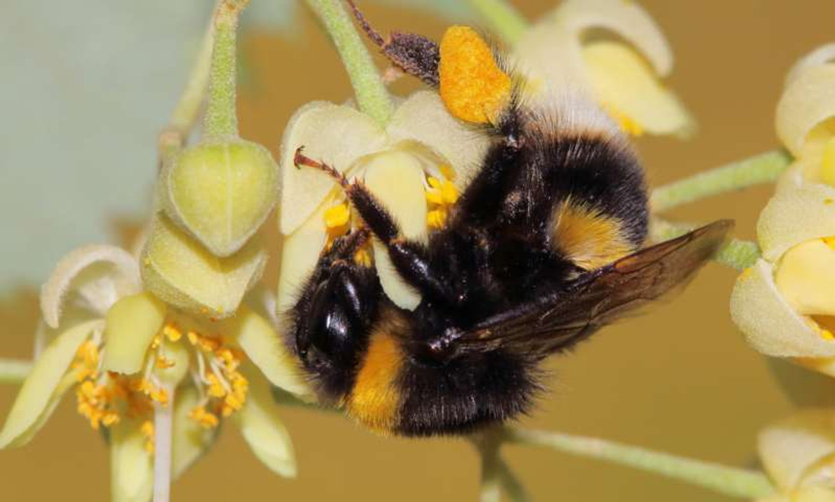 Do Lime Trees Kill Bees? The Earliest Proposed Explanations Pointed The Finger Of Blame At Nectar Toxins