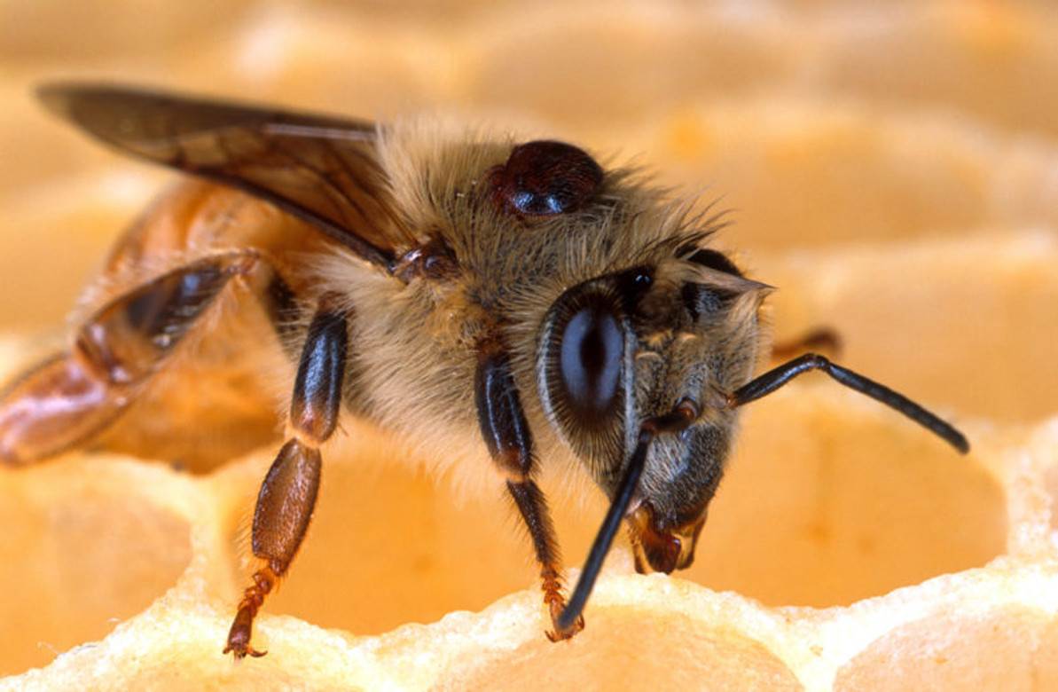 COLD STORAGE FOR HONEY BEE COLONIES BREAKS THE BROOD CYCLE AND MAKES VARROA TREATMENTS MORE EFFECTIVE. HOW COOL!!