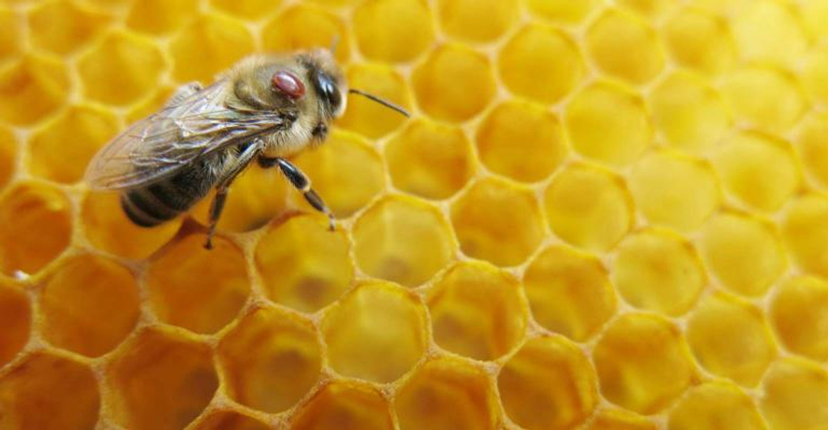 Honey Bee Health Coalition, Partners Secure $475,000 Grant to Test Potential Treatments for Destructive Varroa Mite Infestations