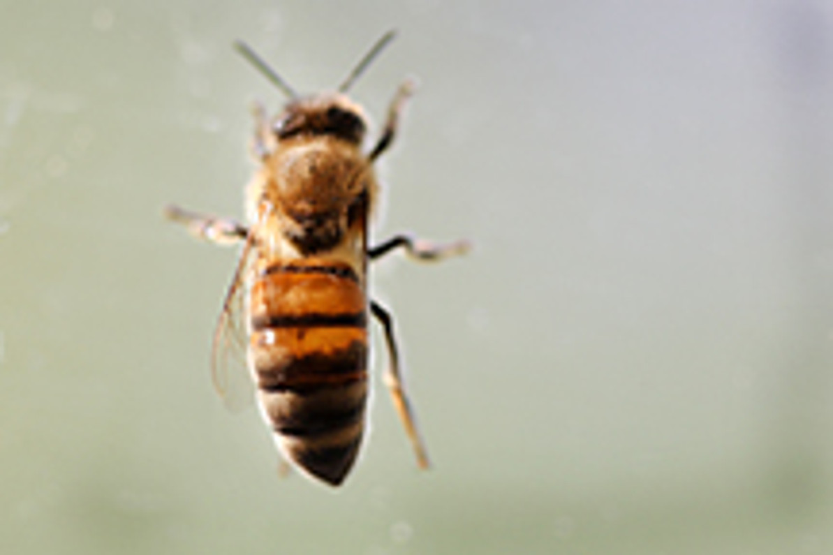 Rising CO2 Levels Reduce Protein in Crucial Pollen Source for Bees