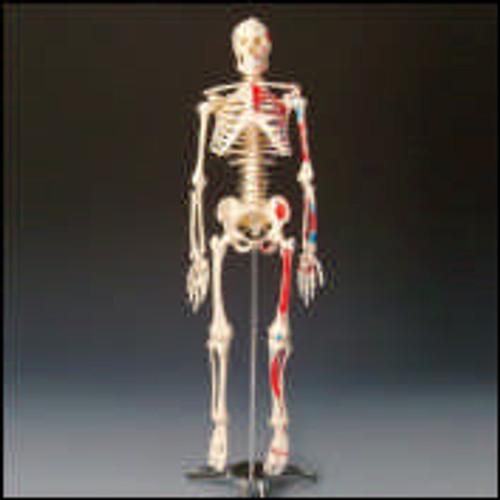 Painted & Numbered Big Tim Skeleton
