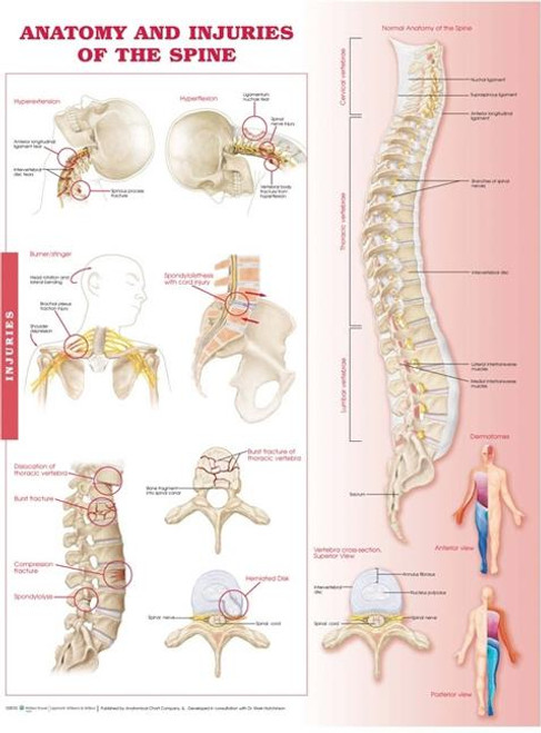 Anatomy and Injuries of the Spine Anatomical Chart