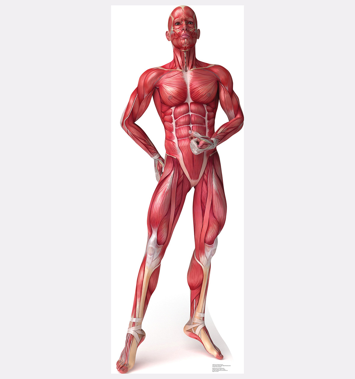 Life-size Muscle System - Anatomy Cardboard Standup | Cardboard Cutout
