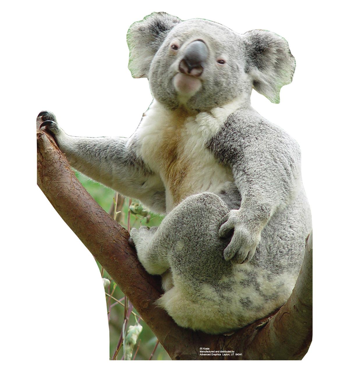 Life size koala bear cardboard standup cardboard cutout - Koala components ...