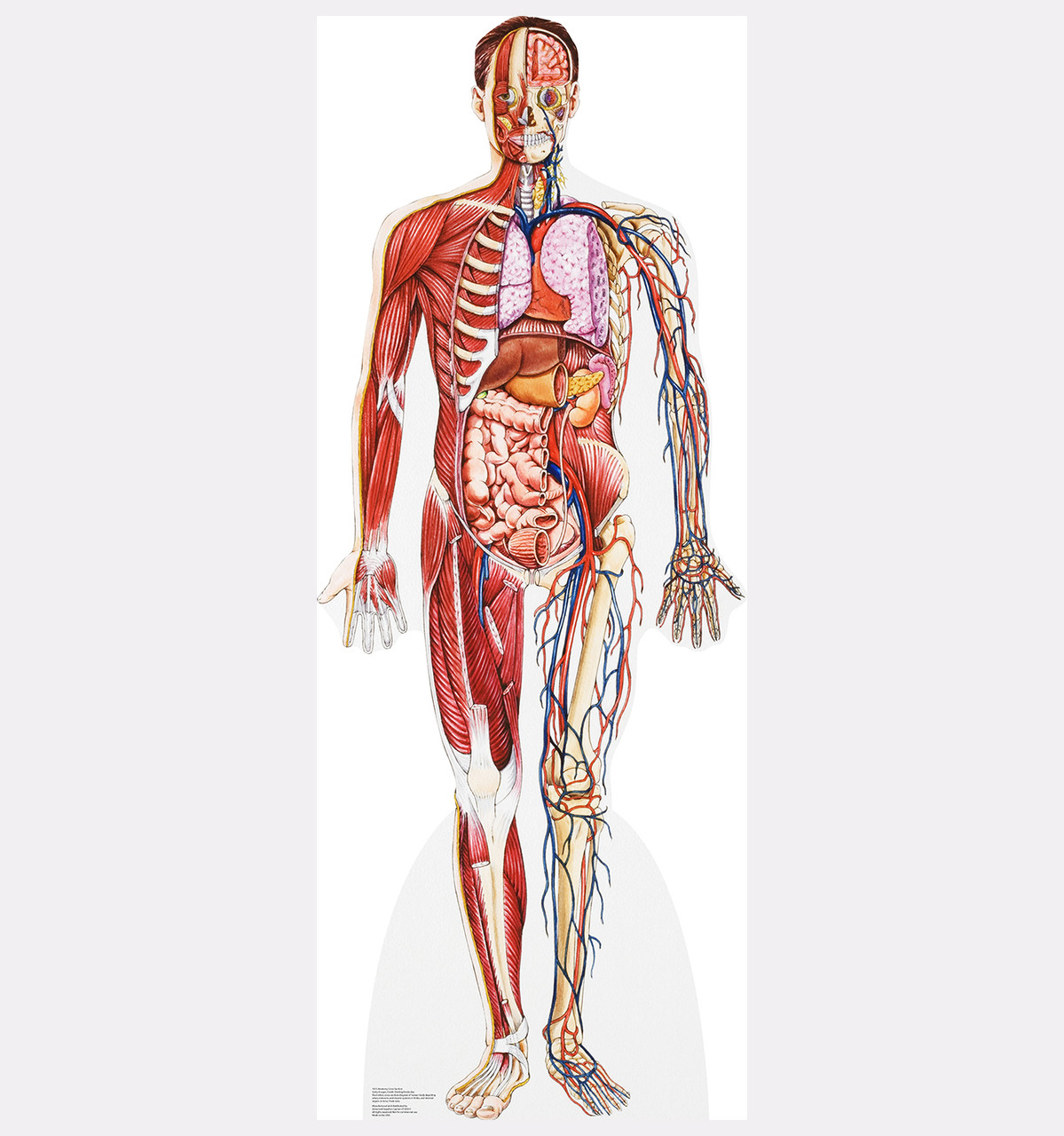 Life-size Anatomy - Half Muscle Half Skeleton Cardboard Standup ...