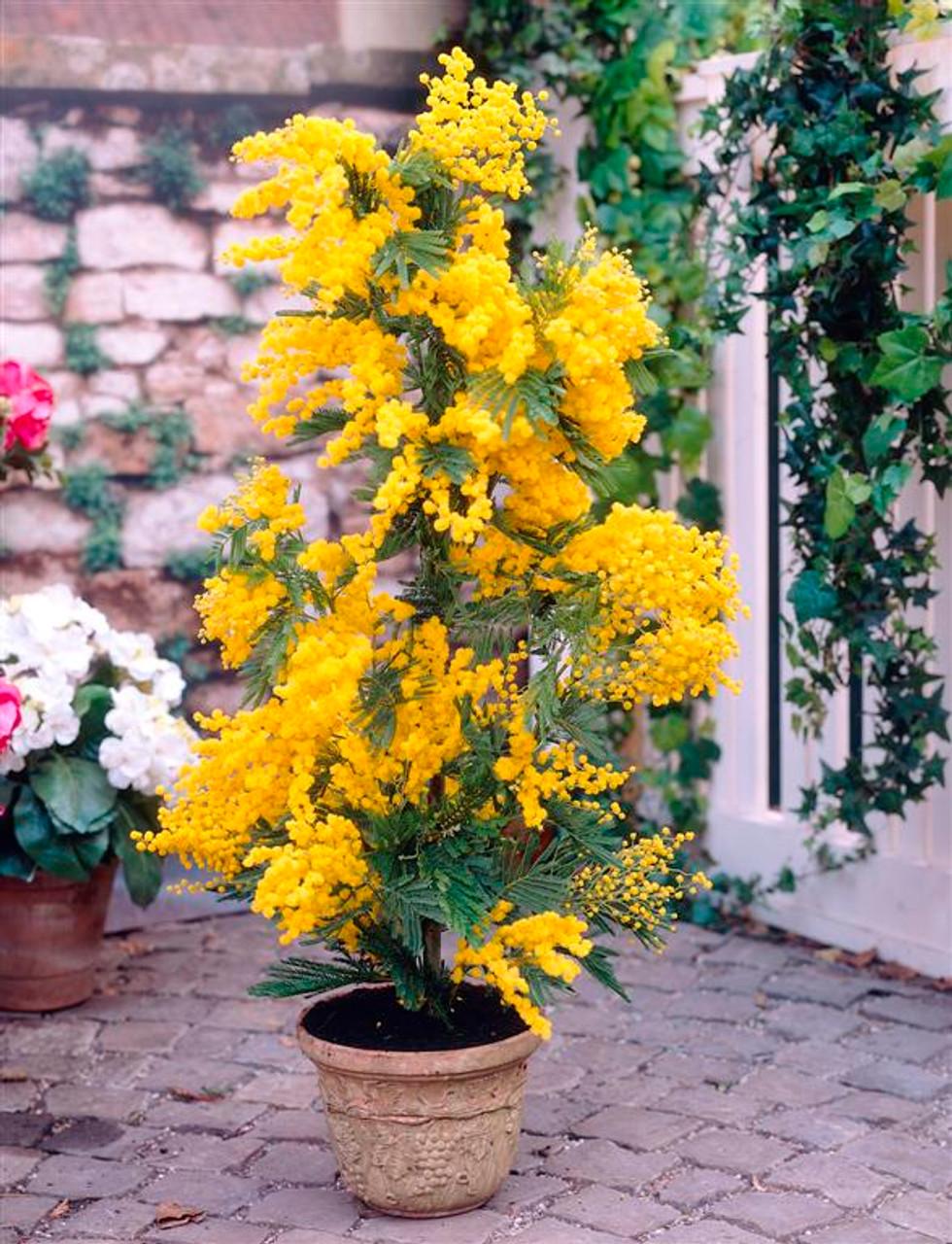 Mimosa acacia dealbata mr middleton garden shop mimosa acacia dealbata mightylinksfo