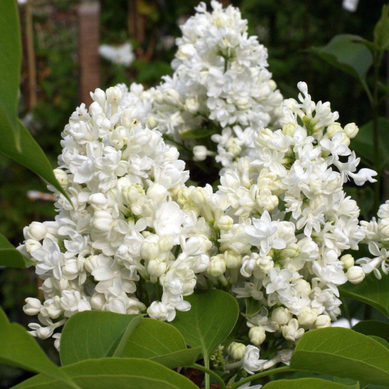 Syringa vulgaris madame lemoine mr middleton garden shop - Syringa vulgaris ...