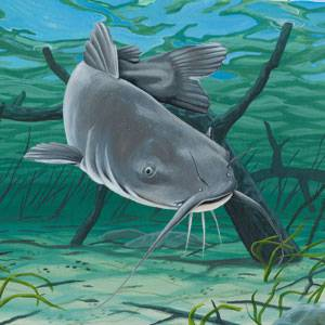 Blue Catfish Facts Information And Photos American