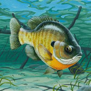 Bluegill Fish | Bluegill Information Facts And Photos American Expedition