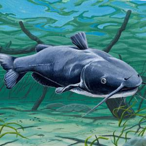 Channel Catfish Facts Information And Photos American