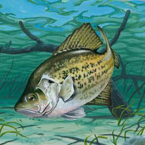 Crappie Facts Photos And Information American Expedition