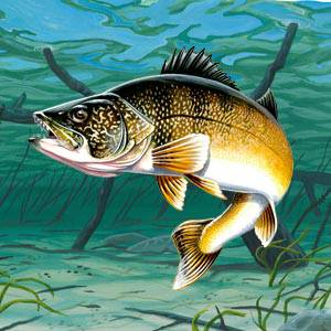 Walleye Facts, Information, Photos, and Fishing Tips - American Expedition