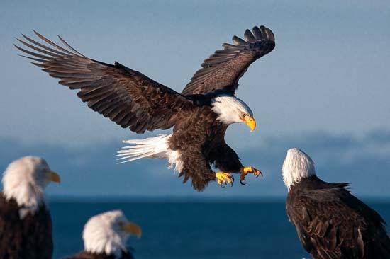 american-bald-eagle-evergadese-national-park.jpg