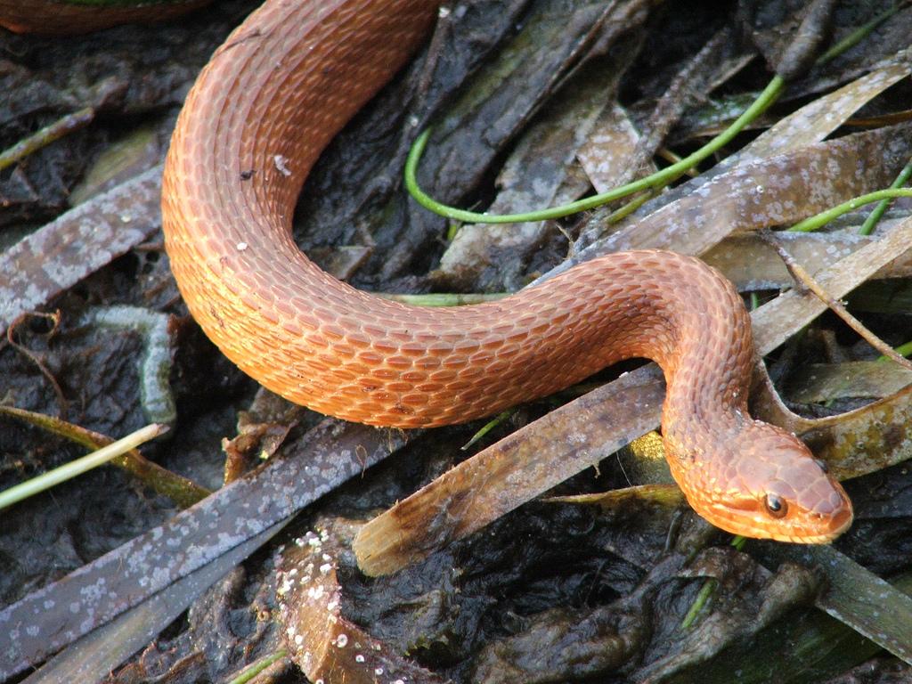 atlantic-salt-marsh-water-snake-everglades-florida.jpg