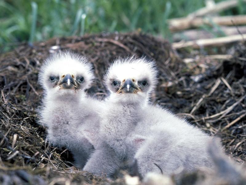 bald-eagle-chicks-everglades-tours.jpg