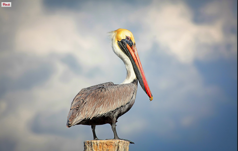 brown-pelican-everglades-florida-2.jpg