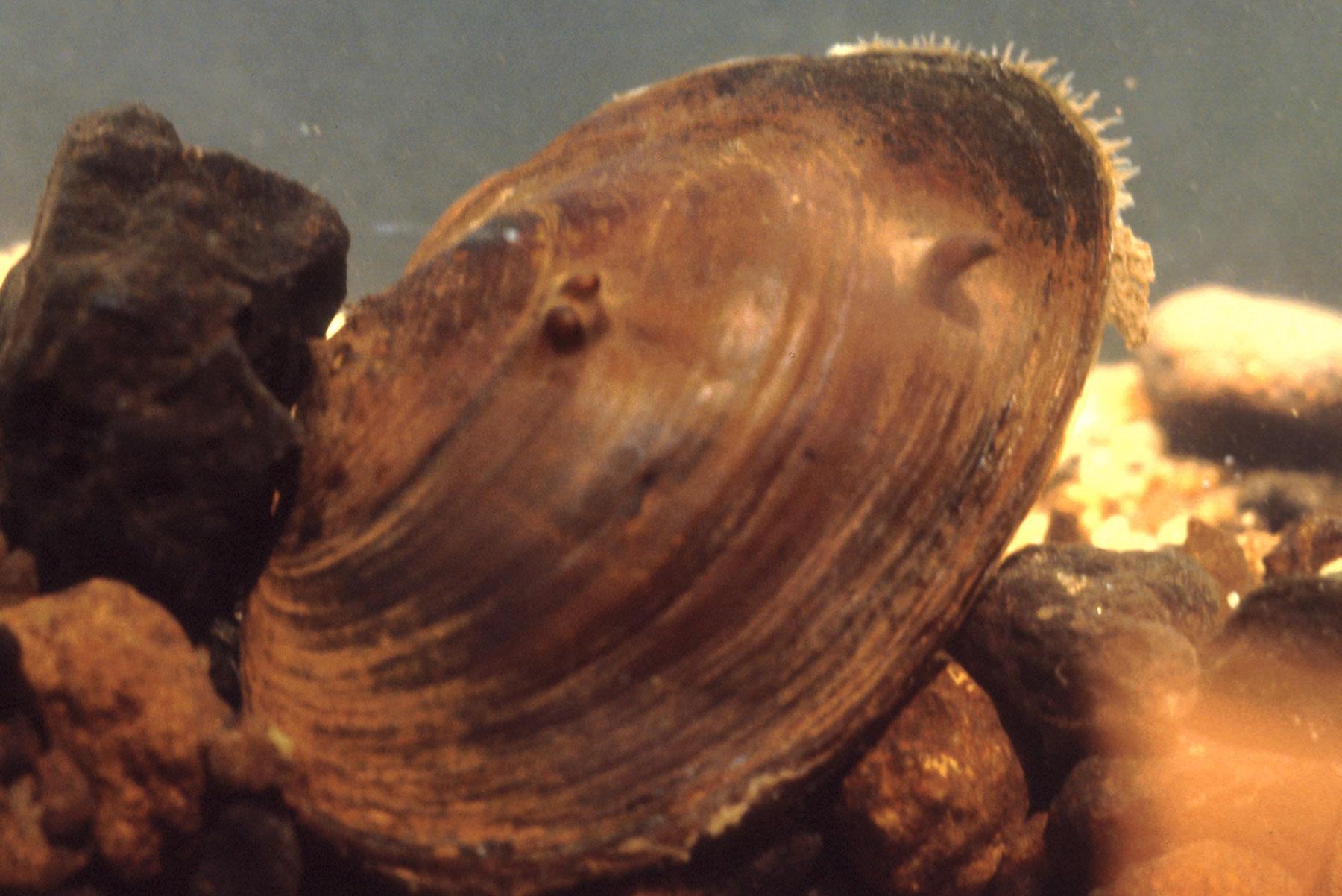 chipolata-slab-shell2.jpg