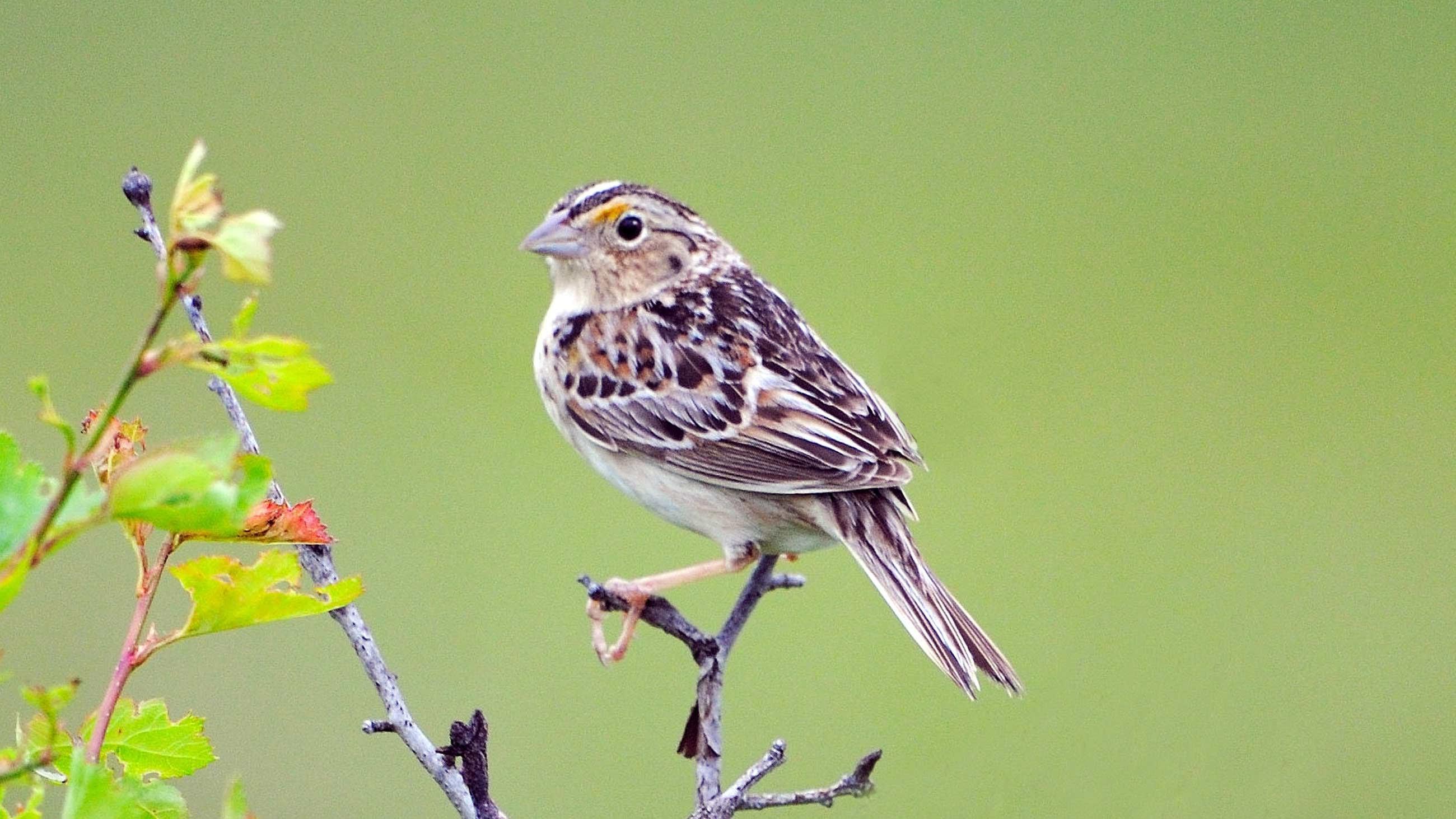 florida-grasshopper-sparrow2.jpg