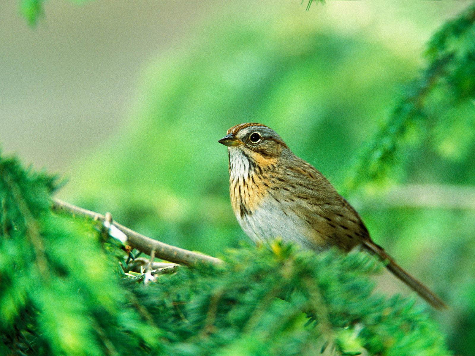 florida-grasshopper-sparrow4.jpg