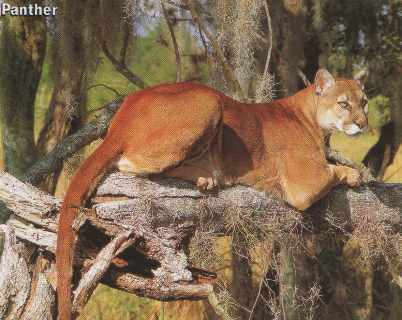 Florida Panther | Everglades Tours