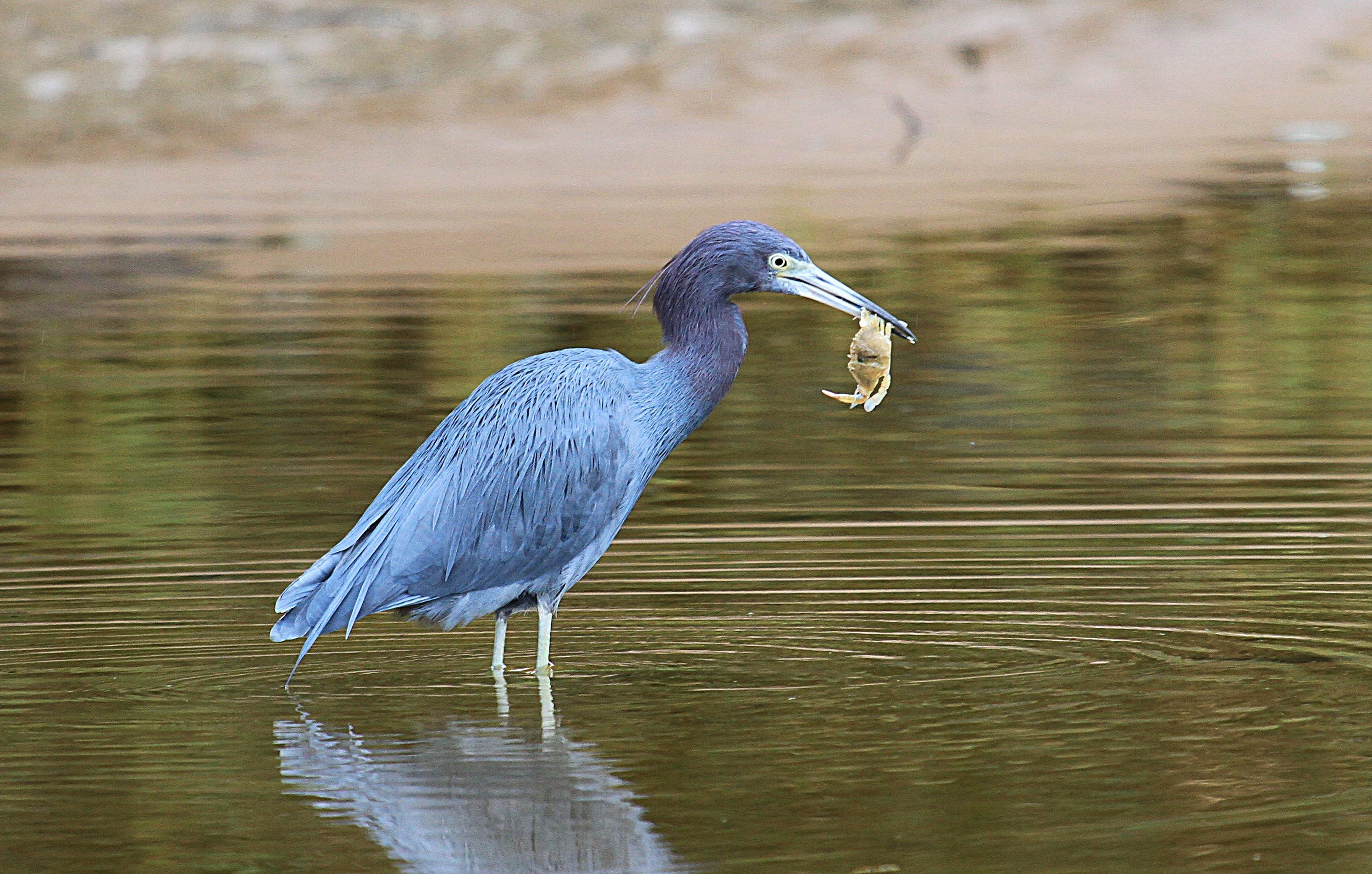 little-blue-heron-everglades-tours.jpg
