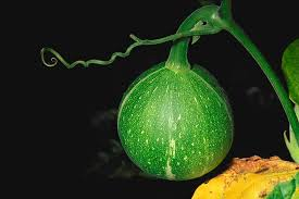 okeechobee-gourd-everglades-tours.jpg